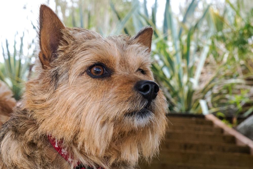 Hình ảnh chó Norwich Terrier