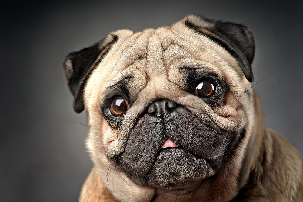 Chó có thể đánh hơi được ung thư?